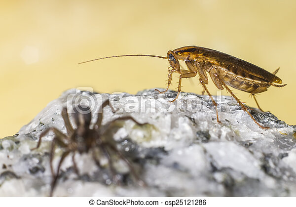The German cockroach - csp25121286