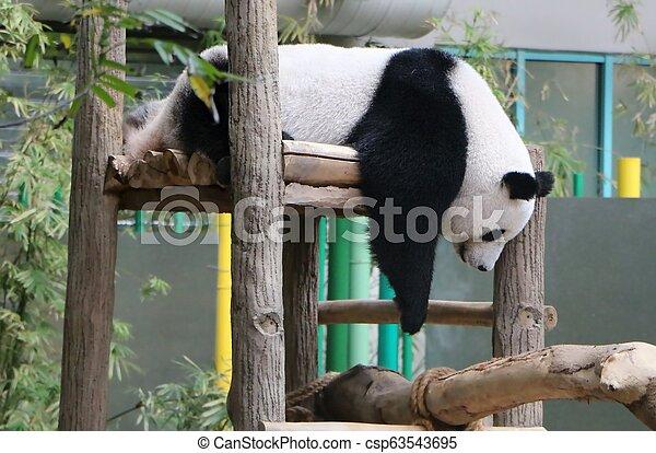 The giant panda (Ailuropoda melanoleuca), also known as panda bear or panda. - csp63543695