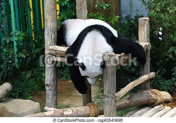 The giant panda (Ailuropoda melanoleuca), also known as panda bear or panda. - csp63543698