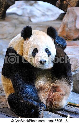 The Giant Panda - csp16595116