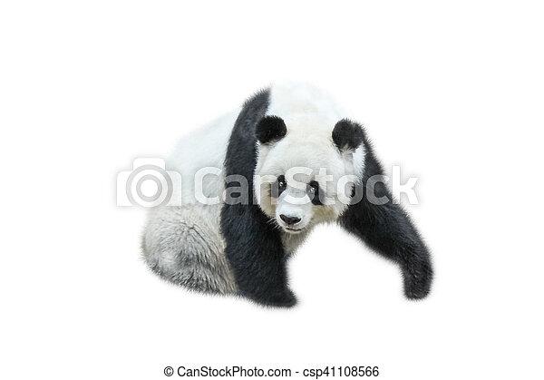The Giant Panda - csp41108566
