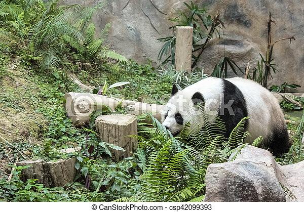 The Giant Panda - csp42099393