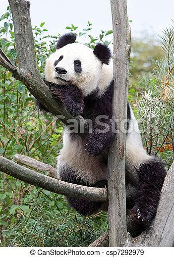 The giant panda - csp7292979