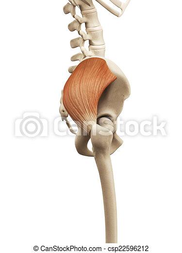 Muscle anatomy - the gluteus medius.