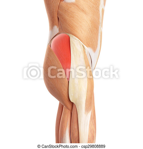 The gluteus medius. Medically accurate illustration of the gluteus ...