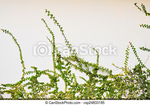 The Green Creeper Plant on old cement White Wall - csp24833185