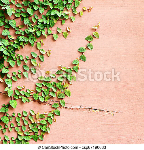 The Green Creeper Plant on the Wall Background - csp67190683