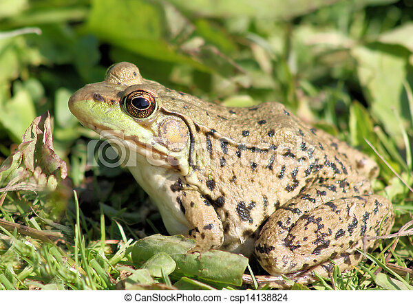 The Green Frog - csp14138824