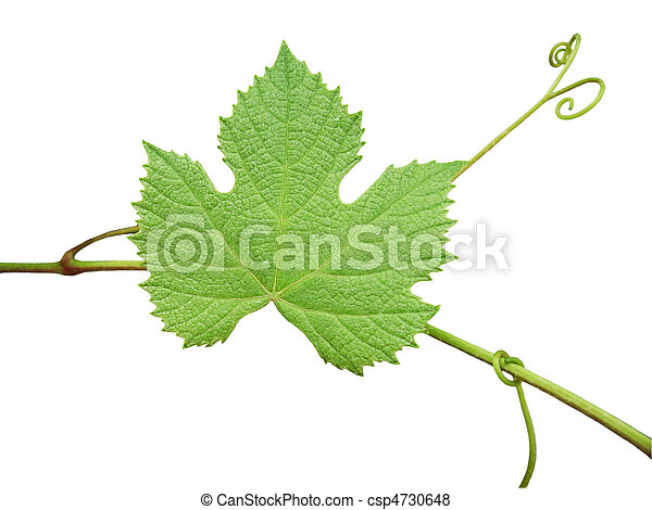 The green grape leaf on a white background - csp4730648