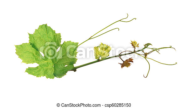 The green grape leaf on a white background, isolated - csp60285150