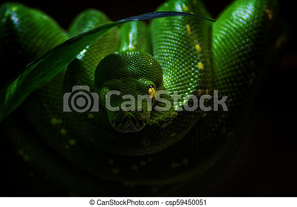 The green tree python on the black background - csp59450051