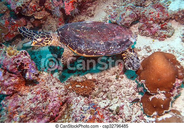 The Hawksbill Turtle (Eretmochelys imbricata) near Corals - csp32796485