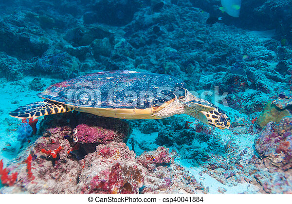 The Hawksbill Turtle (Eretmochelys imbricata) near Corals - csp40041884