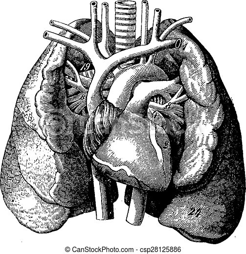 The heart in the middle of the lungs, vintage engraving. - csp28125886