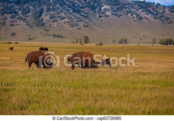 The herd bison in Yellowstone National Park, Wyoming. USA. - csp63726985