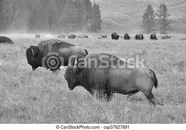 The herd of typical American Bison on the pasture in Grand Teton National Park - csp37627891