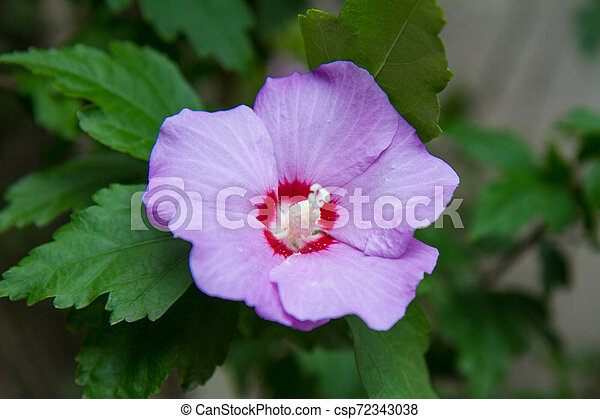 The Hibiscus blooming - csp72343038