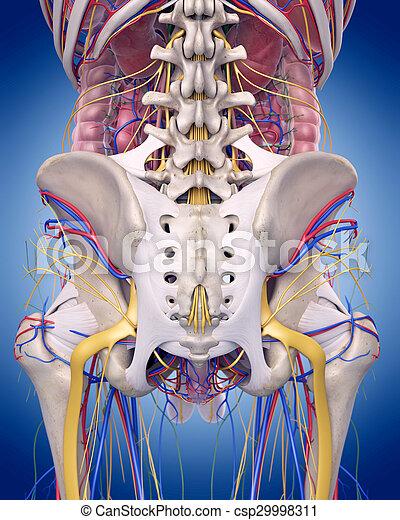 the hip anatomy - csp29998311