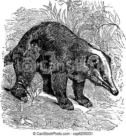 The Hog Badger or Arctonyx collaris. Vintage engraving. - csp6205031