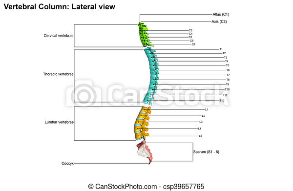 The human vertebral column is the backbone or spine, consisting of ...