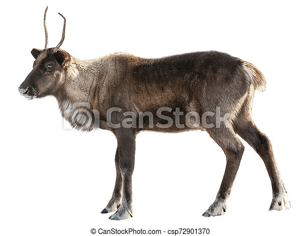 The image of a northern deer on a white background - csp72901370