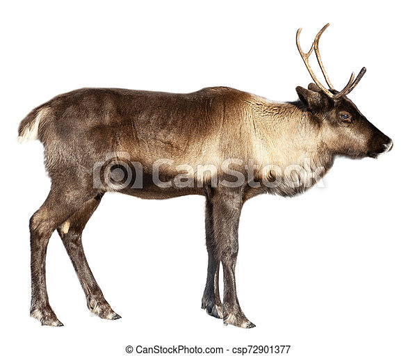 The image of a northern deer on a white background - csp72901377