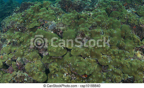 The individual polyps can seen on this example of Boulder Star Coral - csp10188840