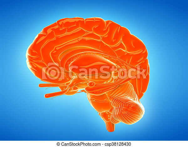 3d Rendered Medically Accurate Illustration Of The Internal Brain
