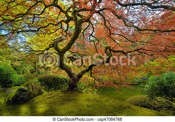 The Japanese Maple Tree in Spring - csp47084768