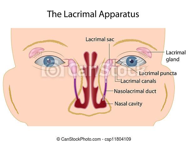 The lacrimal apparatus, eps10 - csp11804109