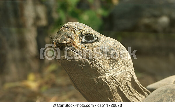 The large image of a head  big   tortoise  - csp11728878