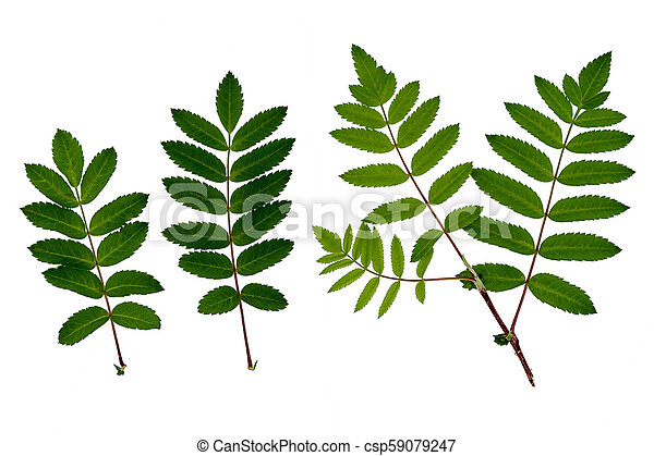 The leaves of mountain ash, red ash