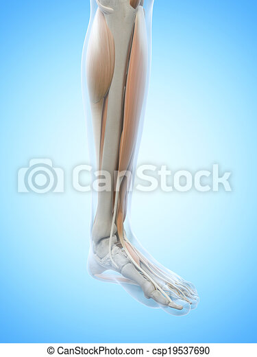 The leg muscles - csp19537690