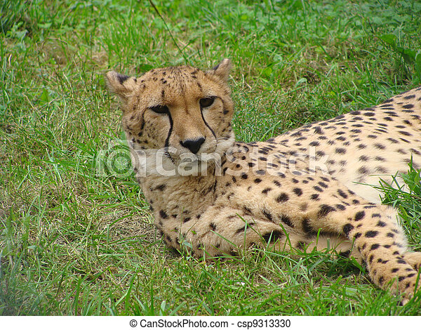 the leopard lying in the grass - csp9313330