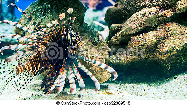 the lion-fish - csp32369518