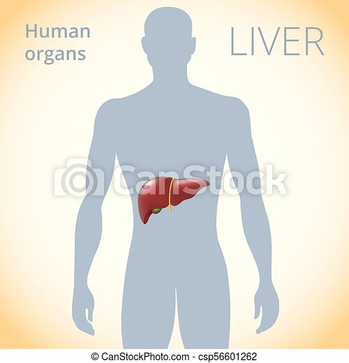The Location Of The Liver In The Body The Human Digestive Clip