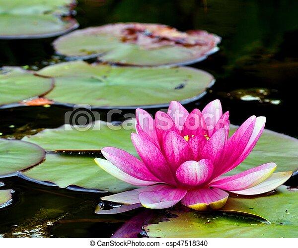 The lotusthe natonal flower of india the lotus the national the lotusthe natonal flower of india csp47518340 mightylinksfo