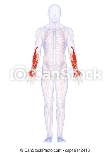 The lower arm muscles. 3d rendered illustration of the lower arm ...