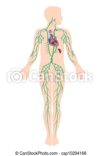 The lymphatic system , eps10 - csp10294166