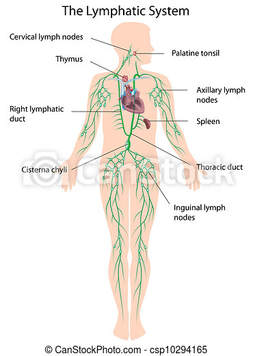 The lymphatic system labeled, eps10 - csp10294165