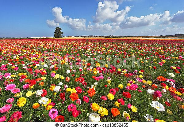 The magnificent garden buttercups - csp13852455