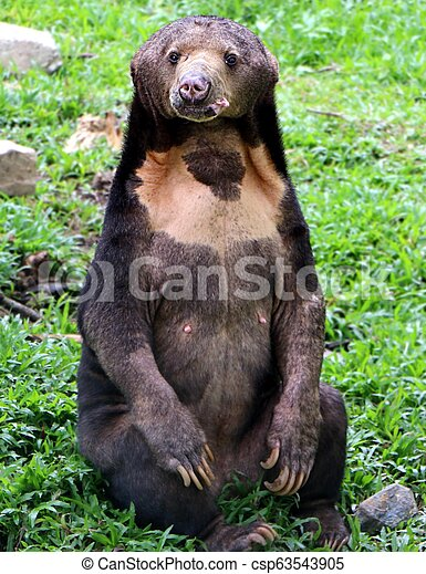 """The Malayan sun bear is also known as the """"honey bear"""", which refers to its voracious appetite for honeycombs and honey. - csp63543905"""