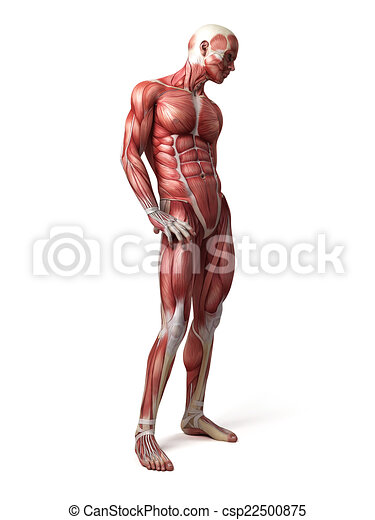 Medical 3d illustration of the male muscular system.