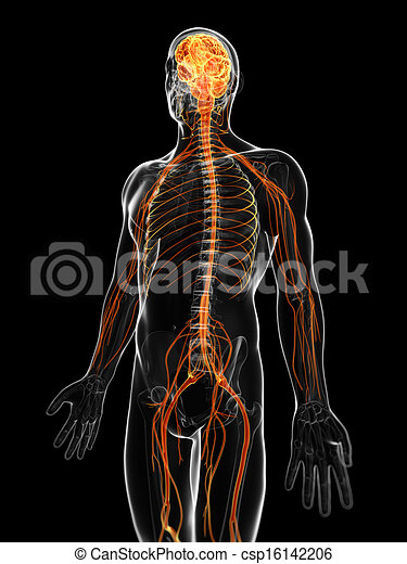 The male nervous system - csp16142206