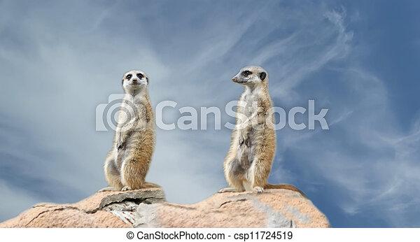 The meerkat or suricate (Suricata, suricatta), a small mammal, is a member of the mongoose family - csp11724519