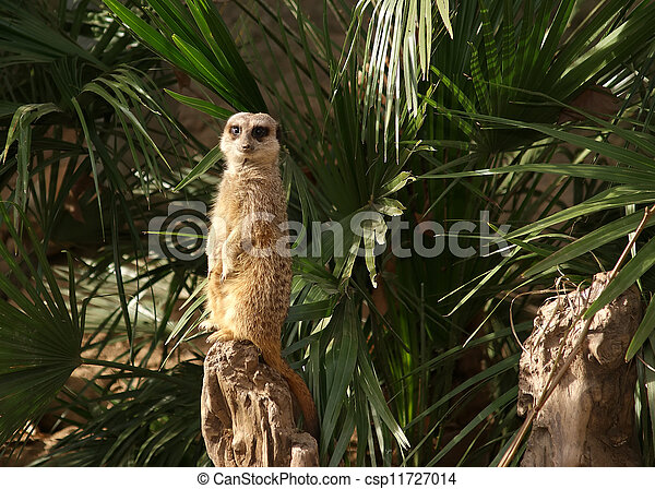 The meerkat or suricate (Suricata, suricatta), a small mammal, is a member of the mongoose family - csp11727014