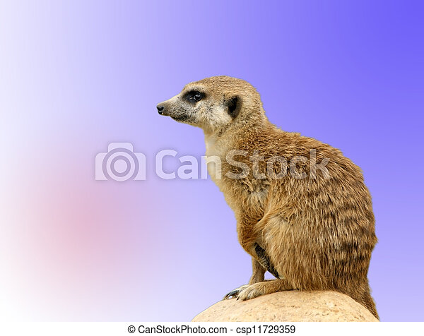 The meerkat or suricate (Suricata, suricatta), a small mammal, is a member of the mongoose family. Zoo, Moscow, Russia - csp11729359