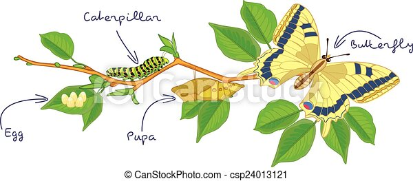 the metamorphosis of the butterfly egg caterpillar pupa rh canstockphoto com Mimicked Clip Art Cocoon Clip Art