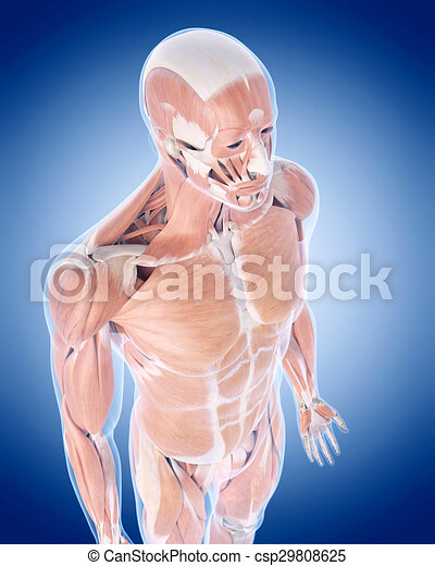 the muscle system - csp29808625