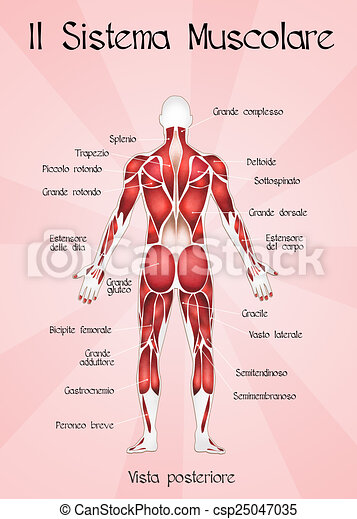 Illustration Of The Muscular System Drawings Search Clipart